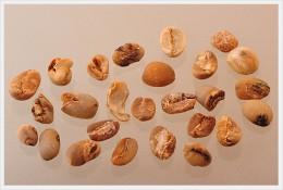 トラジャ生豆