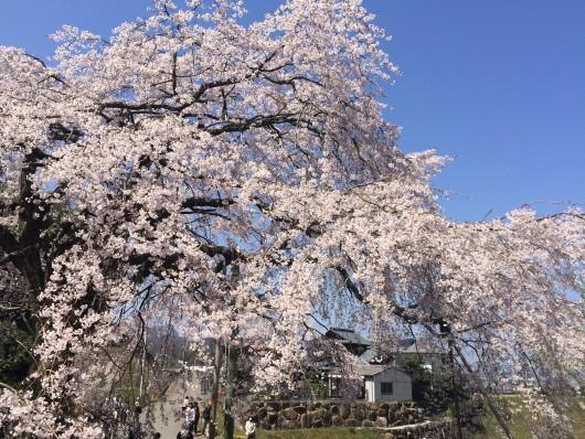 綾川町のしだれ桜