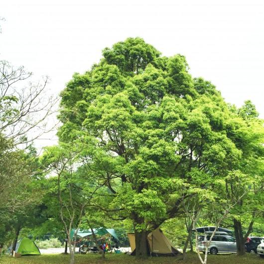 大きな樹の下でキャンプ