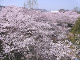 綾川町の桜