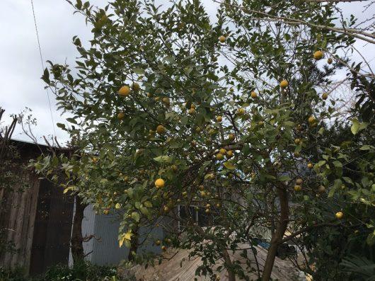お向かいのおうちの檸檬がきれい