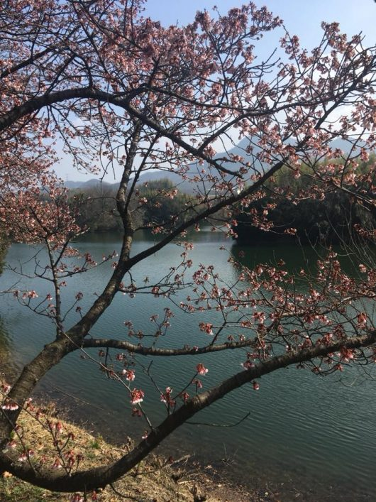 福成寺の寒桜